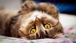 Proč kočky nastavují pupek?