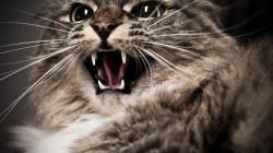 AGRESIVNÍ KOČKA – co způsobuje agresi u koček a jak to řešit (Vol. 1)