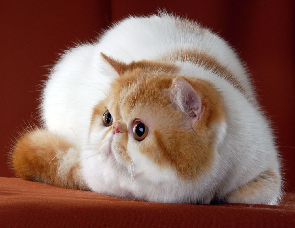 Exotic-Shorthair-Cat-Smart-pets