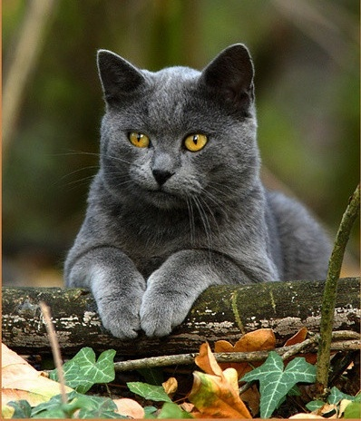 velké tlusté kočička obrázky