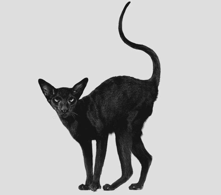 Černá chlupatá kočička pic