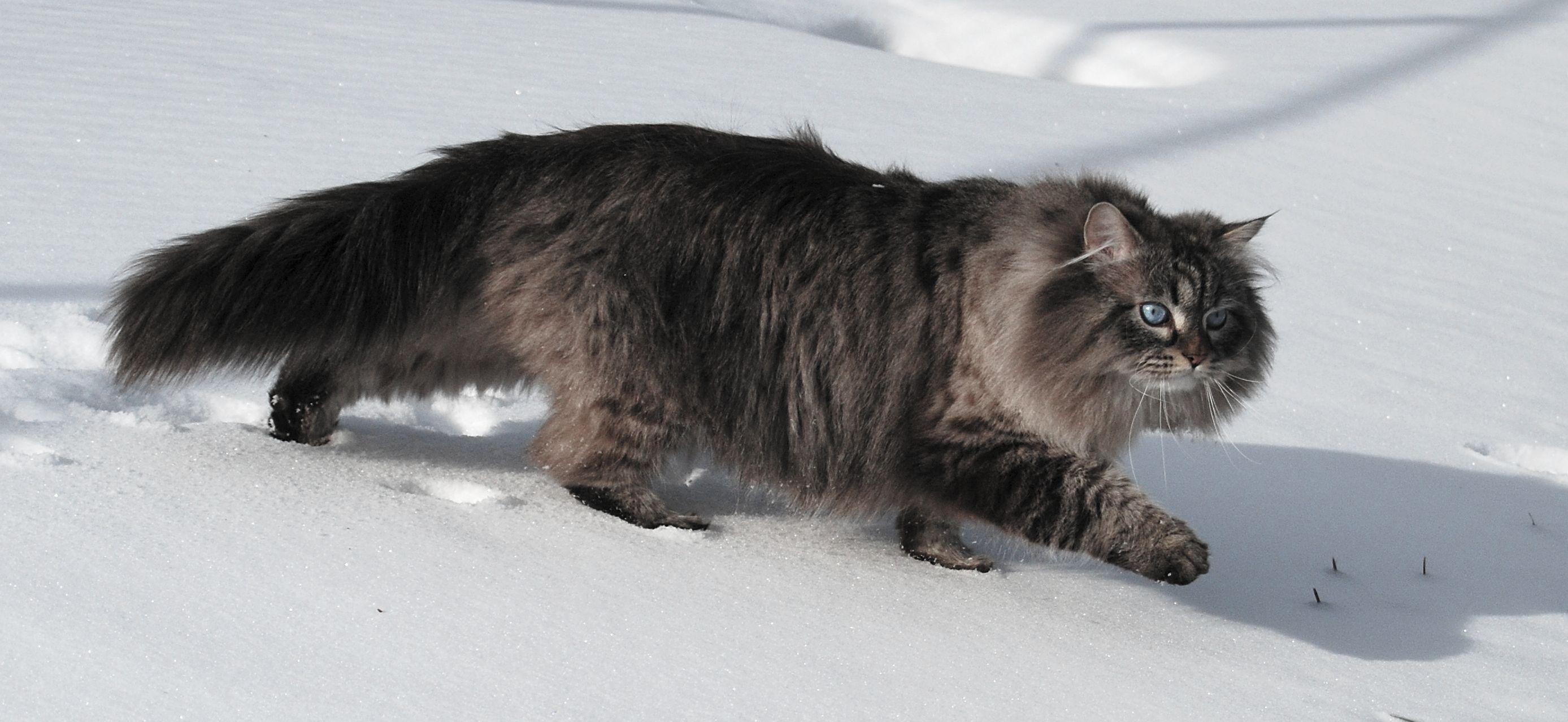 tlusté černé chlupaté kočička fotky