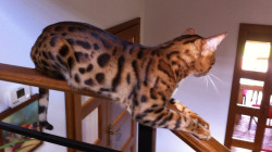 7 things you should know about bengal cat before buying