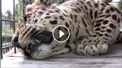 """Sweet """"purring"""" leopard"""