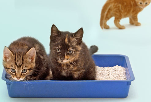 getty_rm_photo_of_kittens_using_litter_box