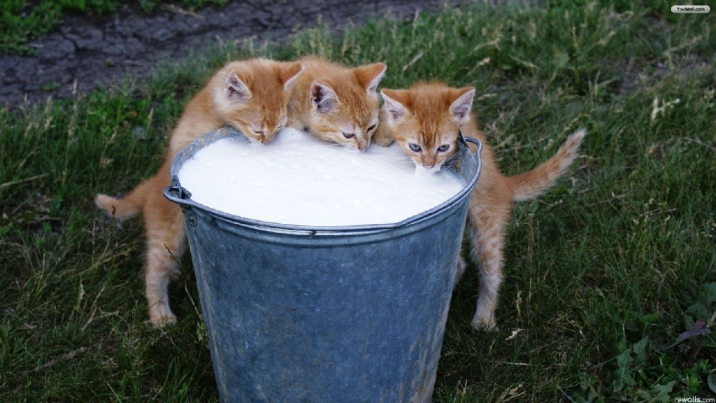 little-cats-drinking-milk-wallpaper-1600x900