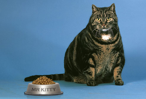 photolibrary_rm_photo_of_overweight_cat