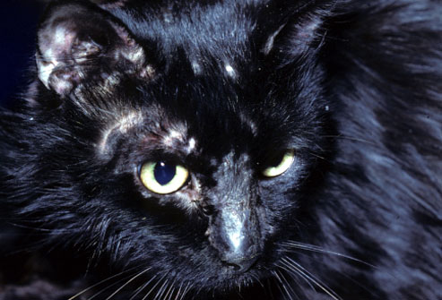 webmd_rm_photo_of_cat_with_ringworm