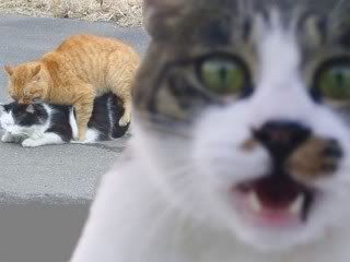 CatsMating