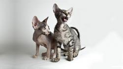Mýty o kočkách sprůkazem původu