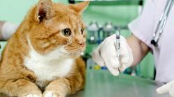 OČKOVÁNÍ KOČEK: Musím očkovat svou kočku?