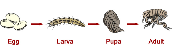 Zdroj: http://www.goforthpest.com/media/Fleas/flea-life-cycle.jpg