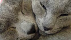 PLEMENA KOČEK: Ruská Modrá Kočka – Elegantní osobnost (rozhovor s chovatelkou)