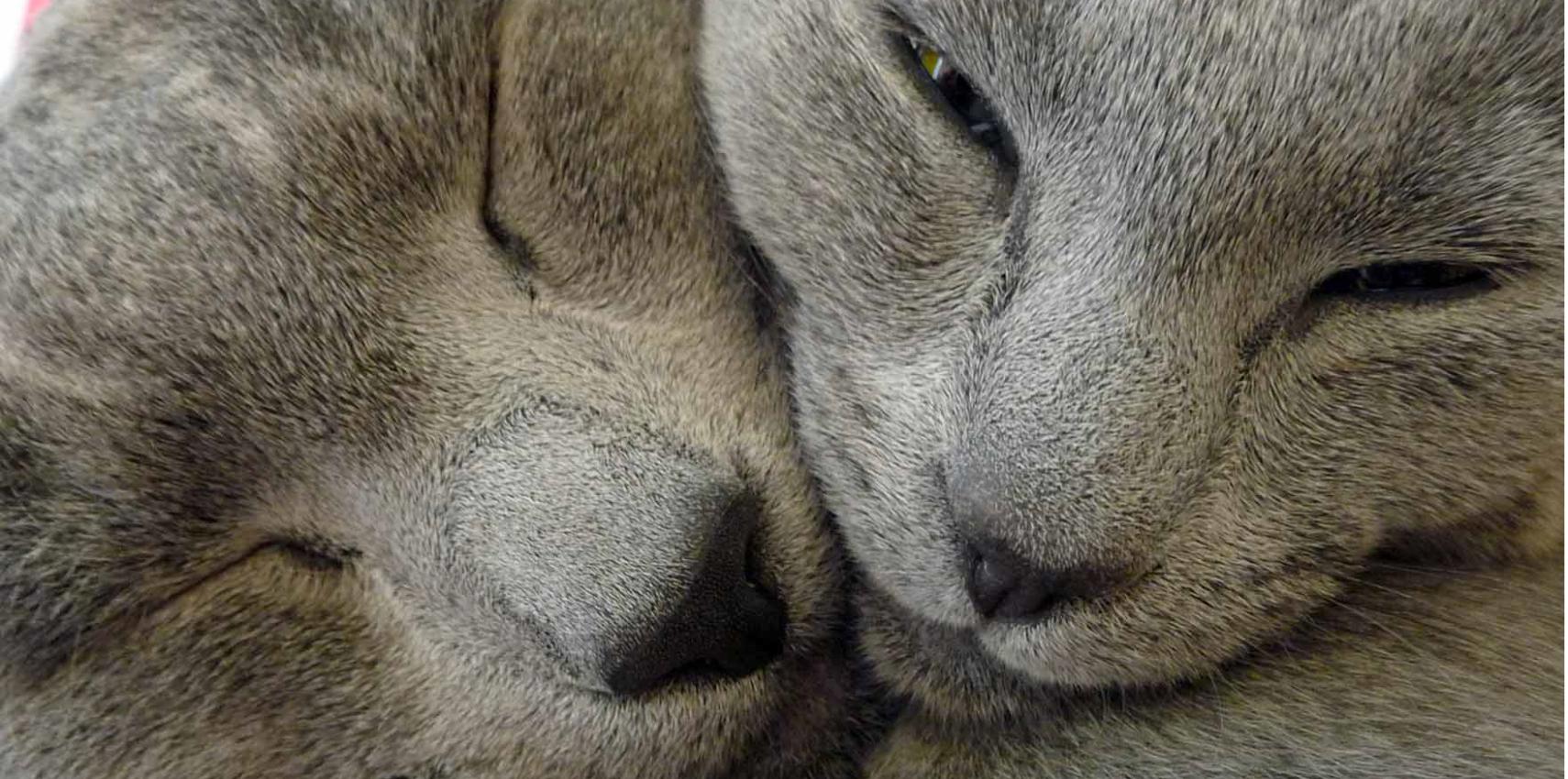 445701794 Ruská modrá kočka – to je elegance, středně štíhlé sportovní tělo,  inteligence. V České Republice mnoho chovatelů tohoto plemene není, ...