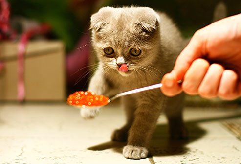 Zdroj fota: http://img.webmd.com/dtmcms/live/webmd/consumer_assets/site_images/articles/health_tools/people_foods_cats_can_eat_slideshow/thinkstock_rf_photo_cat_and_caviar.jpg