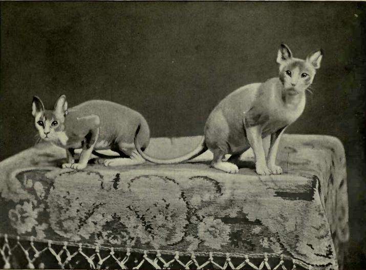 Zdroj fota: http://www.nefersphynx.com/wp-content/uploads/2014/09/history-sphynx-cat.jpg