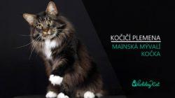 PLEMENA KOČEK: Mainská mývalí kočka (video-reportáž s chovatelkou)