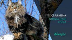 PLEMENA KOČEK: Norská lesní kočka (video-reportáž s chovatelkou)
