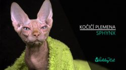 Plemena koček: SPHYNX (video-reportáž)