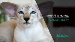Plemena koček: Siamské kočky (video-reportáž)