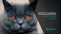 Plemena koček: KOČKA KARTOUZSKÁ (video-reportáž)