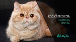 Plemena koček. EXOTICKÁ KOČKA (video-reportáž)