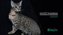 Plemena koček: OCICAT (video-reportáž)
