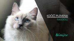 Plemena koček: RAGDOLL (video-reportáž)