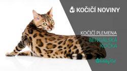 Plemena koček: BENGÁLSKÁ KOČKA (video-reportáž)