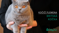 Plemena koček: BRITSKÁ MODRÁ KOČKA (video-reportáž)